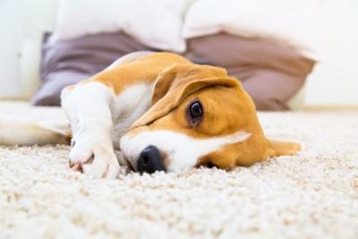 カーペットの上で寝転んでいるビーグル犬
