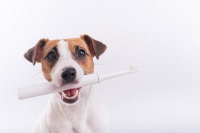歯ブラシをくわえたジャックラッセルテリア