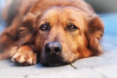 伏せた茶色い犬