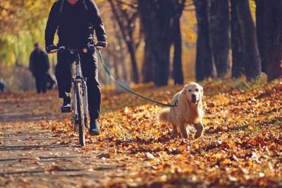 自転車と並走するゴールデン・レトリーバー