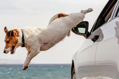 車窓から飛び降りるジャックラッセルテリア