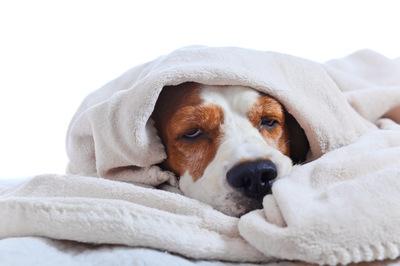 タオルにくるまっている犬