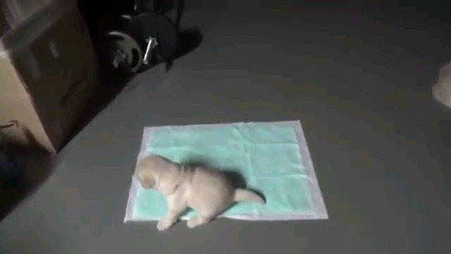トイレシートに子犬