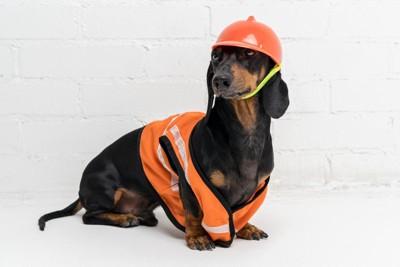 ヘルメットをかぶった犬