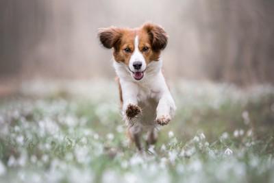 走る垂れ耳の犬