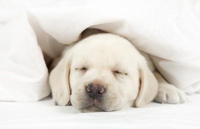 白い布団で寝ているパピー