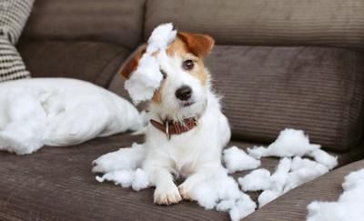 ソファーでクッションにいたずらをする犬