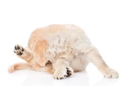 お尻を舐めている犬