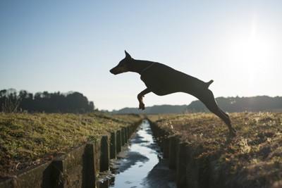小川を跳び越える犬