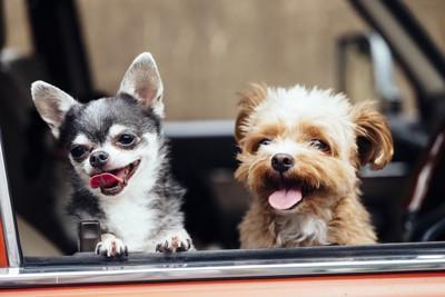 車の窓から顔を出す二匹の犬