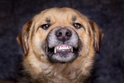 歯を剥いている犬