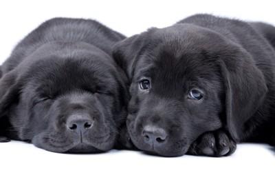子犬黒ラブ