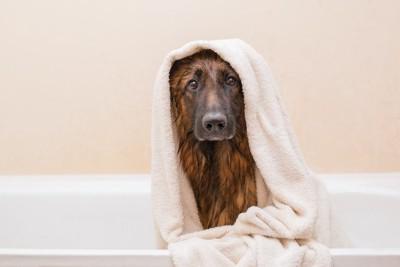 バスタオルを巻いた濡れた体のシェパード