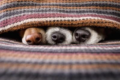 寒がってブランケットから鼻だけを出す三匹の犬