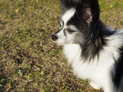 パピヨンの老犬