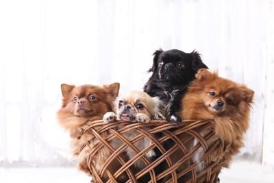 かごに入った4匹の小型犬