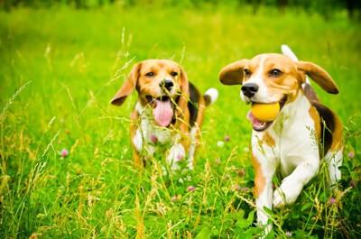 2匹のビーグル犬