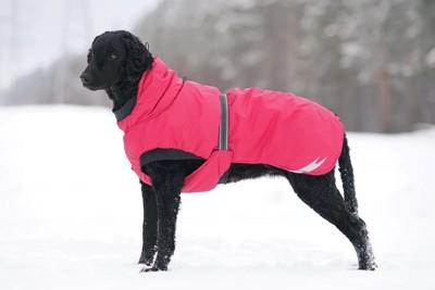 雪の上に立つ赤いコートのレトリーバー