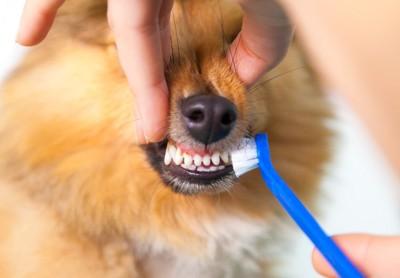 歯磨きされている犬