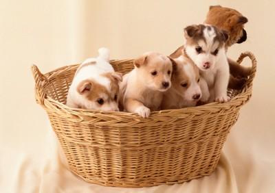 かごに入っている子犬たち