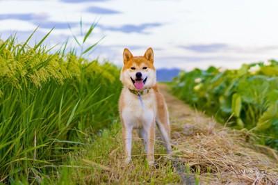 田んぼの道に立つ柴犬