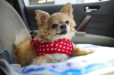 車内でくつろぐ犬