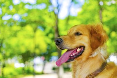 舌をだしている犬
