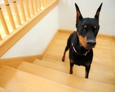 家の階段を登っているドーベルマン