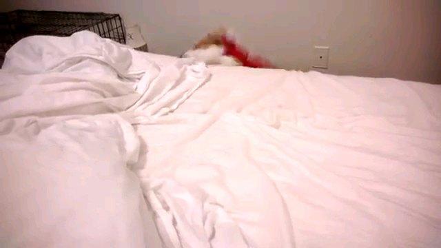 ベッドから落ちる犬