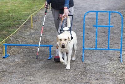青い障害物を避けて歩く盲導犬、ラブラドール