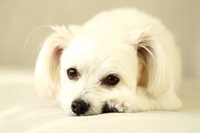 伏せて見つめる白い垂れ耳の犬