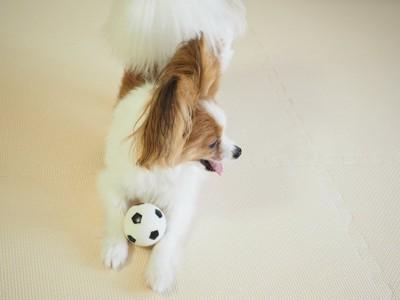パピヨンと小さなサッカーボール