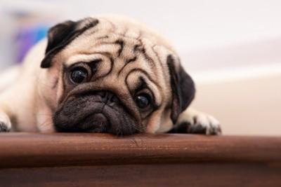 不満そうな顔でこちらを見つめるパグ