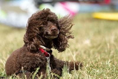 被毛が風になびく犬