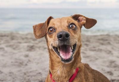 海岸で笑顔の犬