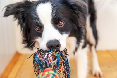 犬とオモチャで遊ぶ