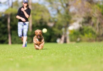 飼い主の投げたボールを追いかけて遊ぶ犬