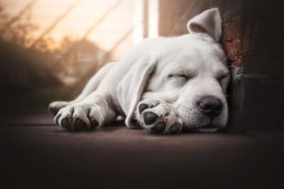 壁に寄り添って寝ている白い犬