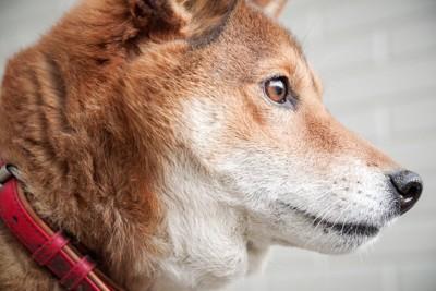 柴犬の横顔、赤い首輪