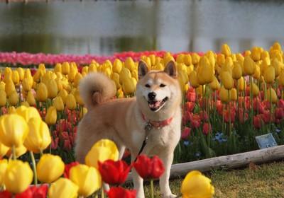 チューリップに囲まれる犬