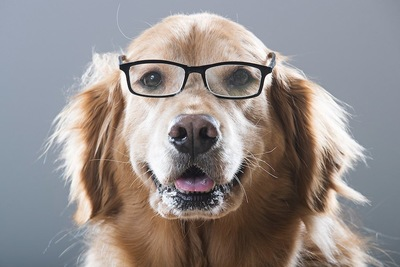 眼鏡をかけているゴールデンレトリバー