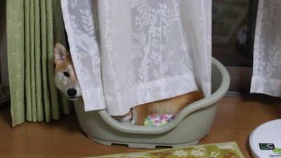 カーテンの隙間から覗く柴犬