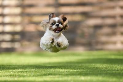 芝生を走ってジャンプするシーズー