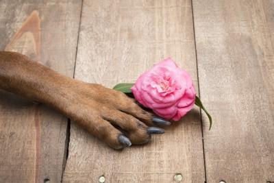バラの花と犬の前足