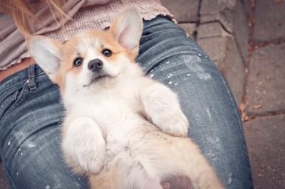 女性の膝の上でお腹を見せる子犬