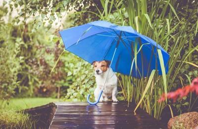 青い傘とジャックラッセルテリア
