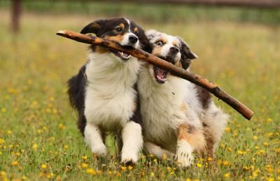 木の枝で遊ぶ2匹の犬