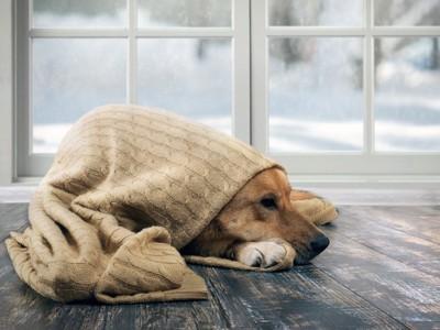窓辺でブランケットに包まる犬