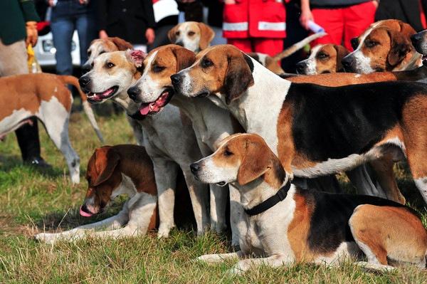 たくさんのハリアー犬