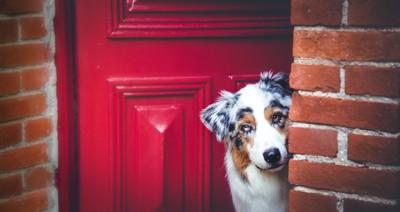 赤い玄関のドアからこっちを見る犬